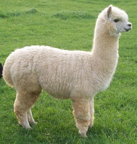 huacaya-alpaca